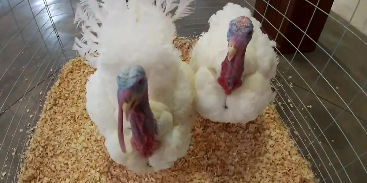 Turkeys from Iowa head to White House for presidential pardon