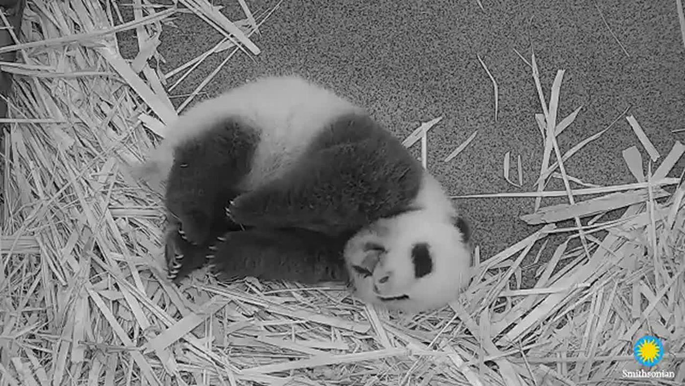Watch: National Zoo's baby giant panda yawns, stretches, wins hearts at 9-weeks-old