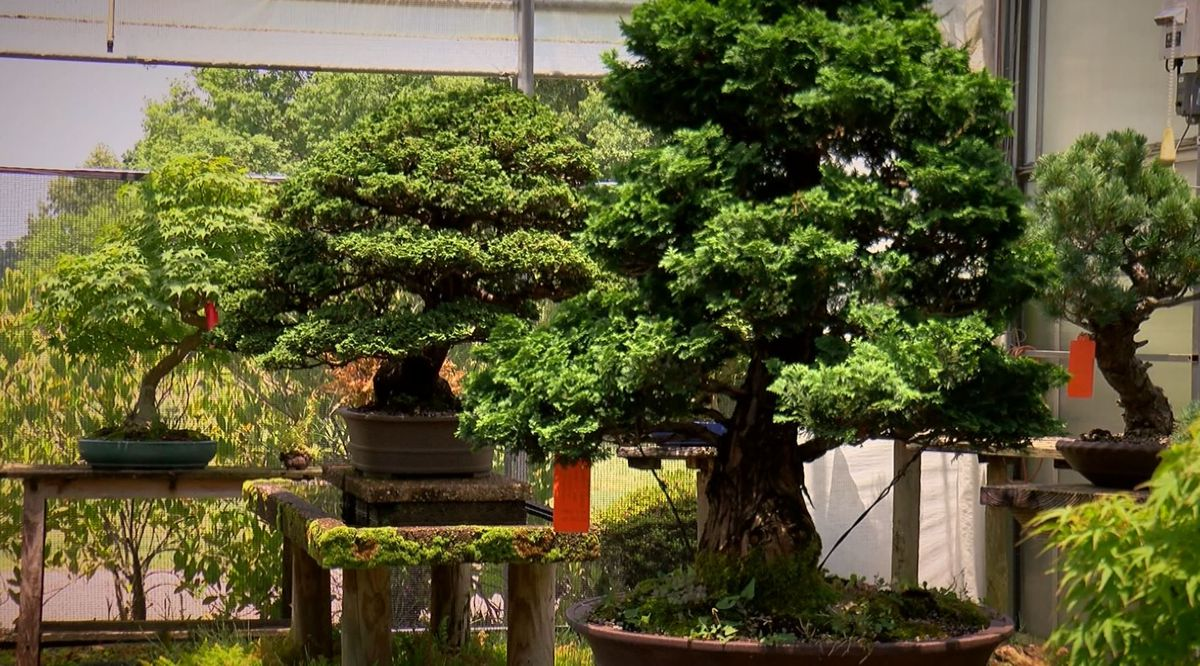 5 Star Stories Brussel S Bonsai Nursery The Largest Of Its Kind In The Us