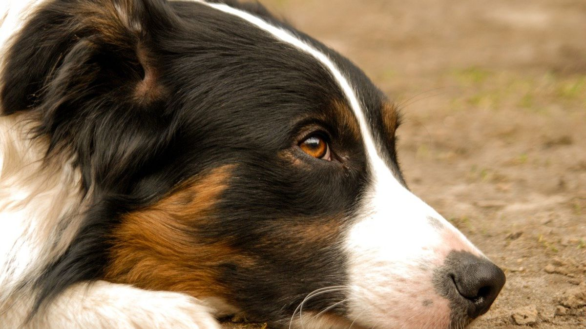 Nashville man leaves $5 million to Lulu, his 8-year-old border collie