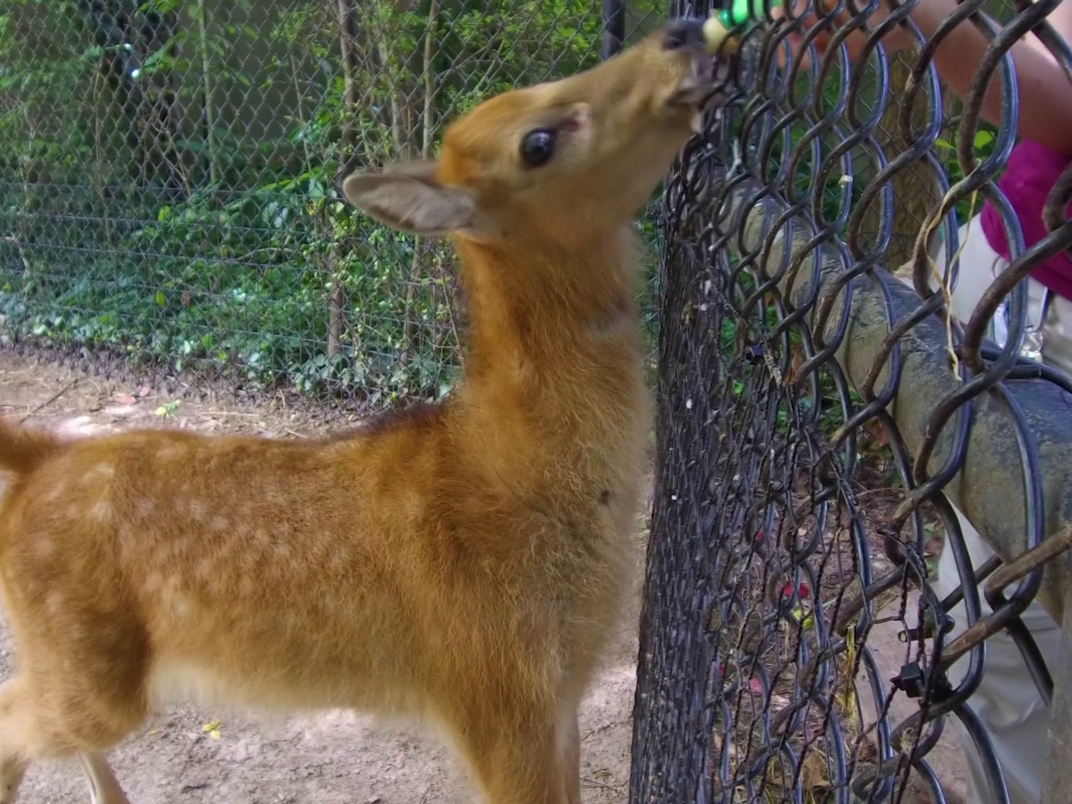 Memphis Zoo welcomes Père David fawn
