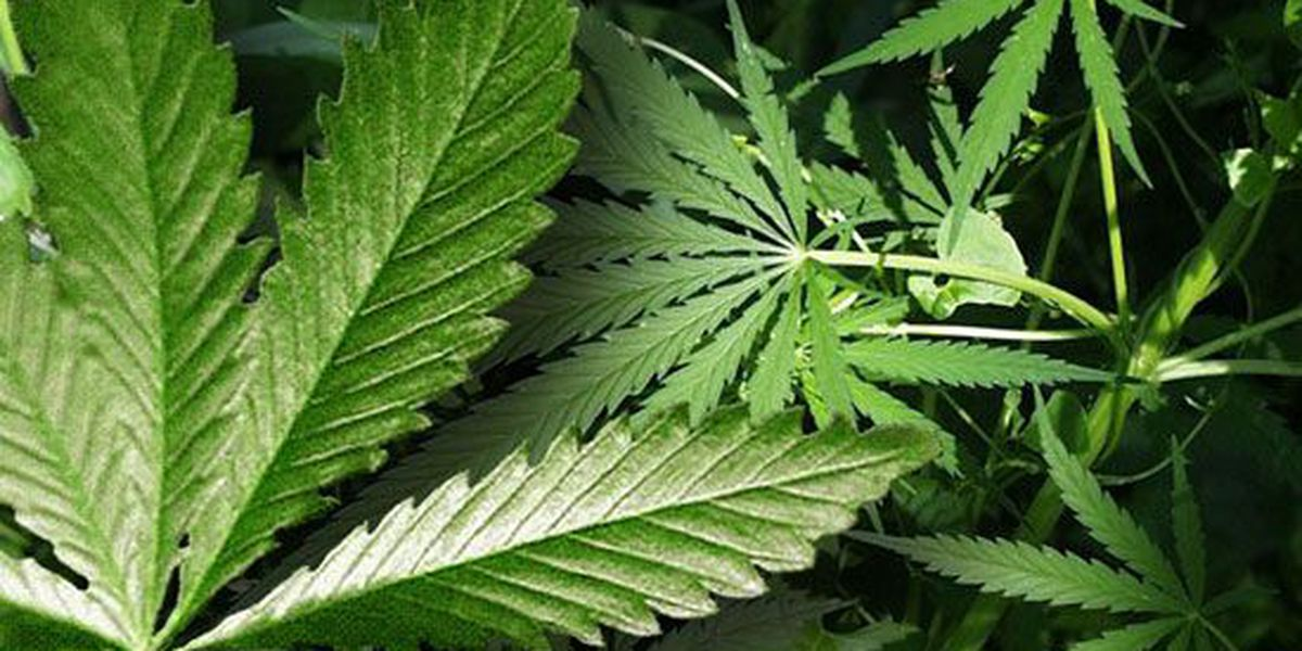 Free marijuana testing offered by Mid-South police department