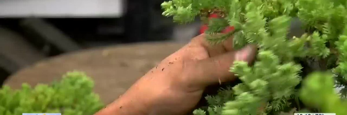 5 Star Stories: Trees become are at Brussel's Bonsai Nursery
