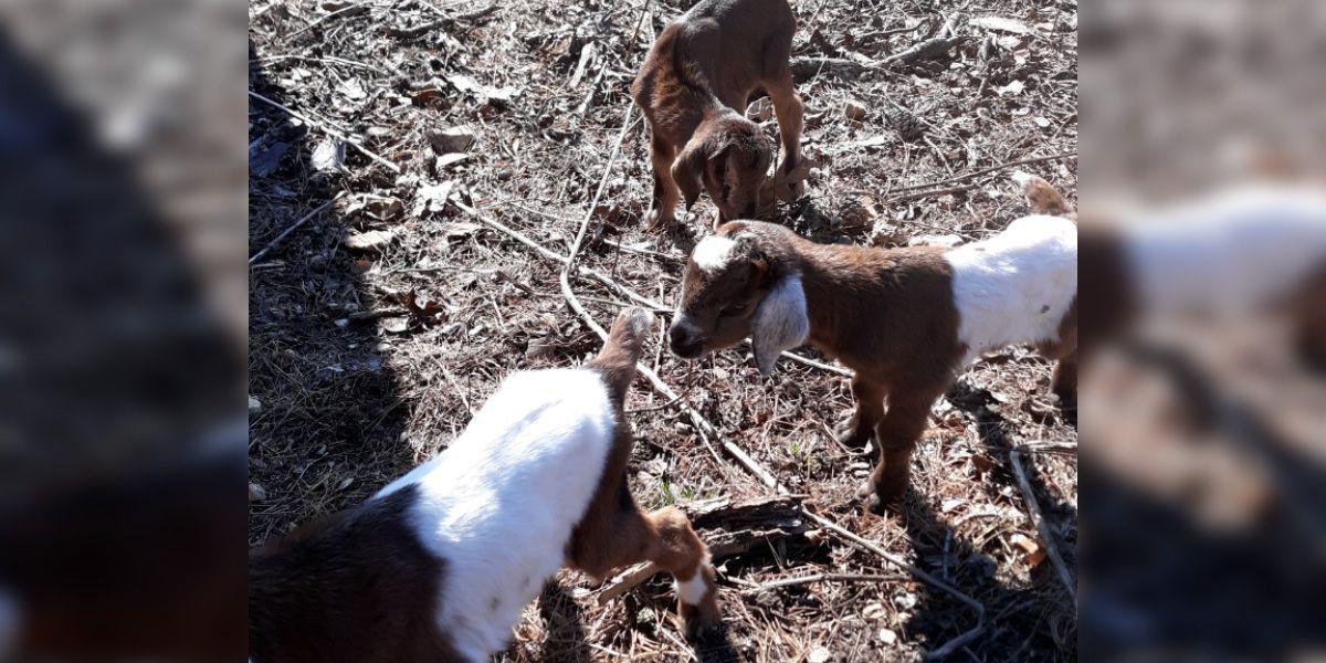 Several goats shot, killed on Goat Island in Mississippi