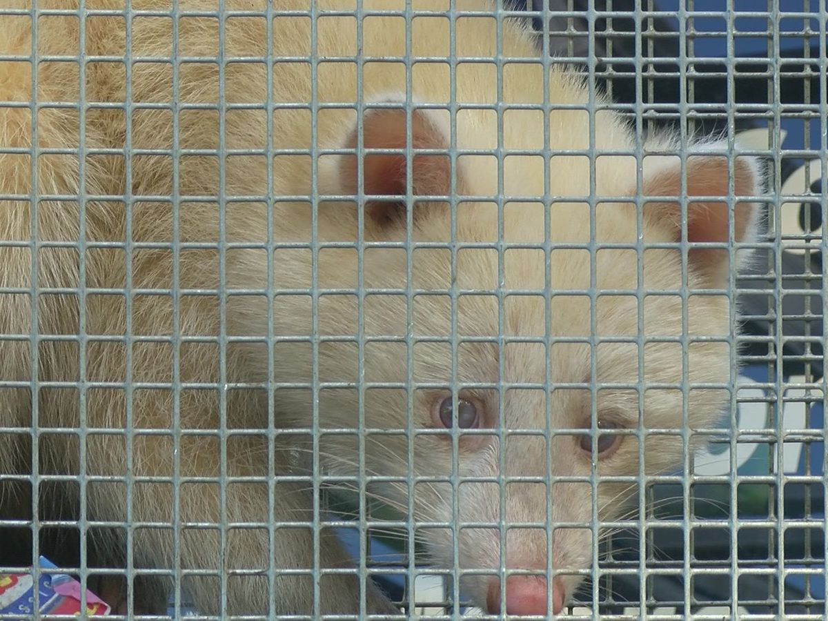 Rare albino raccoon spotted in Mid-South