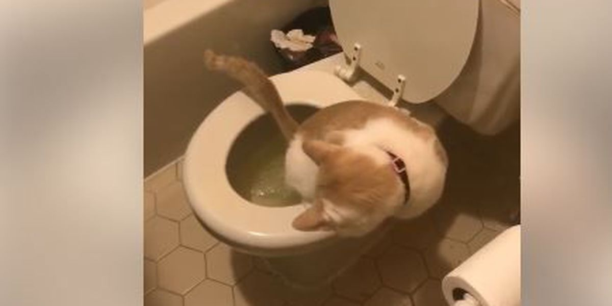 Memphis woman trains cat to use toilet