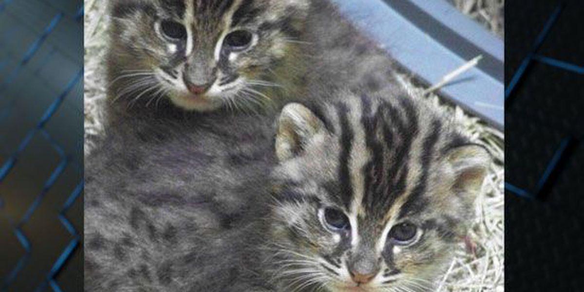 Memphis Zoo welcomes new fishing cat kittens
