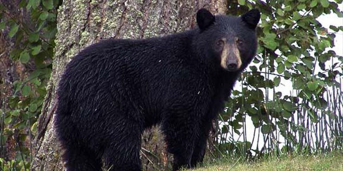 Police search for black bear reportedly roaming Frayser neighborhood
