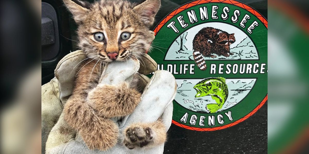 Bobcat kitten rescued from behind pool pump in Collierville