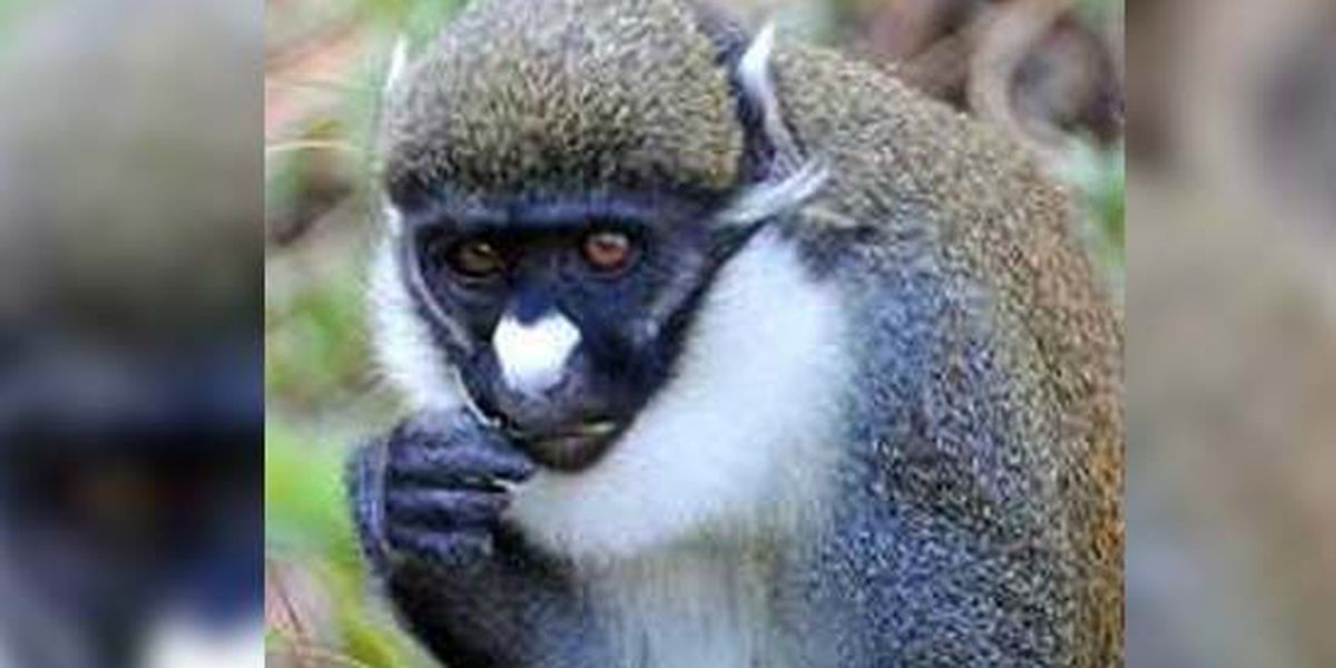 Memphis Zoo monkey tested for rare illness after nosebleeds