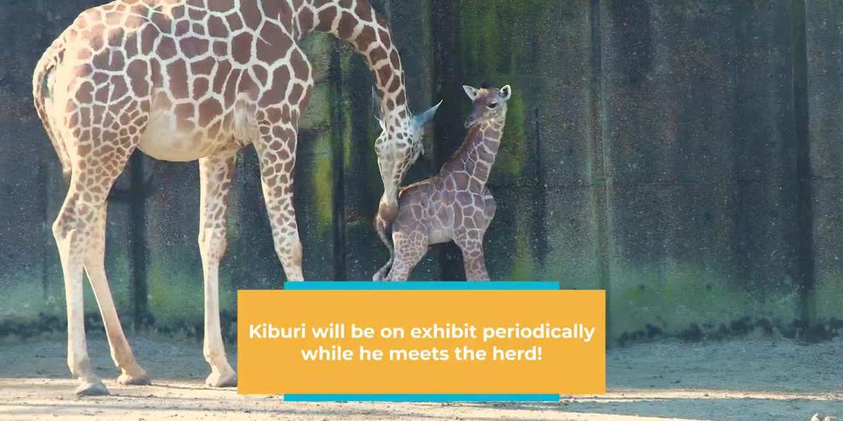 Memphis Zoo reveals gender, name of new baby giraffe