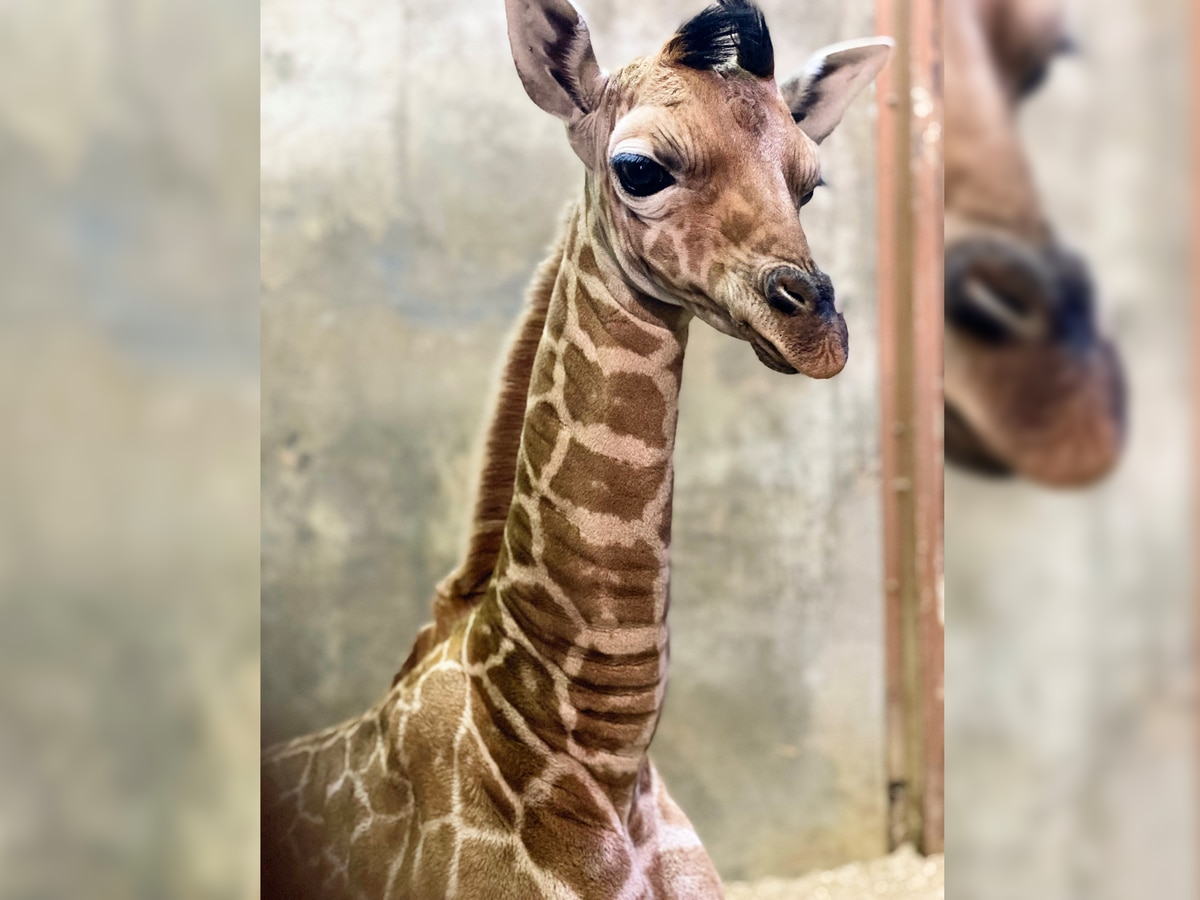 Memphis Zoo welcomes baby giraffe to the herd, named after Grizzlies' star Ja Morant