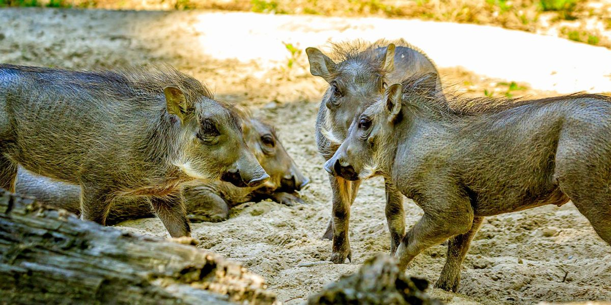 Memphis Zoo welcomes four baby warthogs