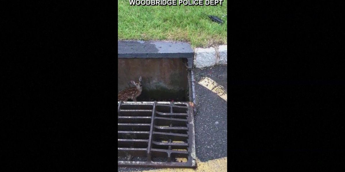 NJ officer rescues fawn from storm drain