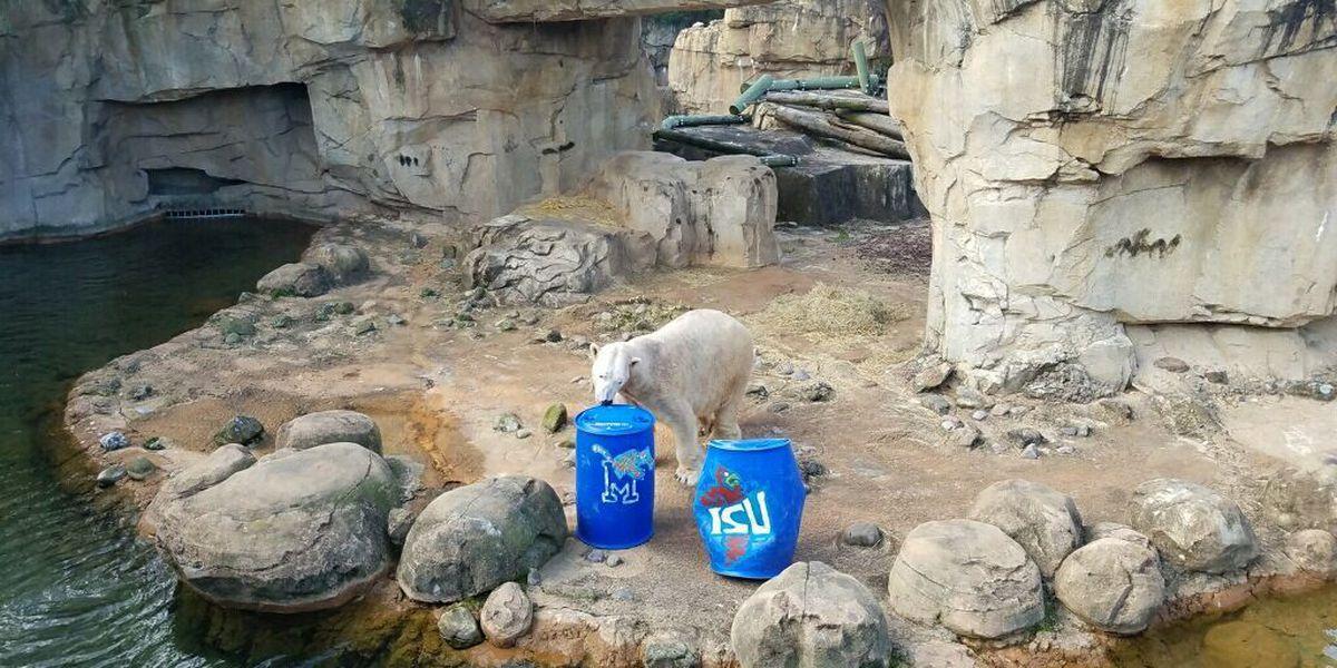 Polar bear predicts Liberty Bowl winner