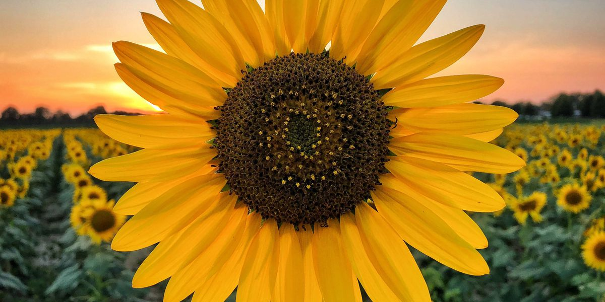 Sunflowers bloom at Agricenter