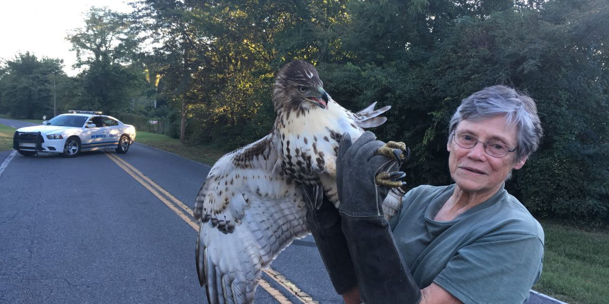 Injured red-tailed hawk rescued in Memphis