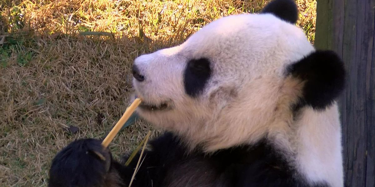 Memphis Zoo looking for bamboo sources to feed Giant Pandas