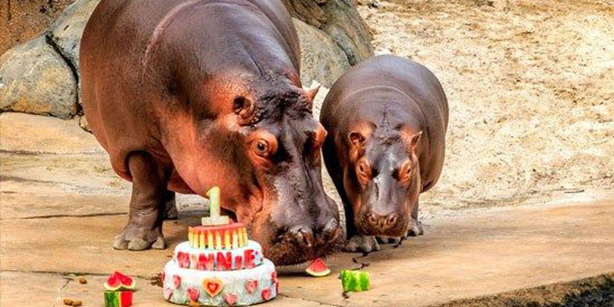Stupendous Winnie The Hippo Celebrates 1St Birthday Funny Birthday Cards Online Alyptdamsfinfo