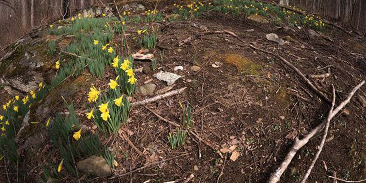 Daffodils symbolize new life in Great Smoky Mountains
