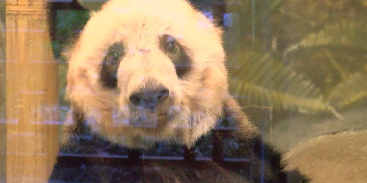 China trade war raising concerns over zoo pandas