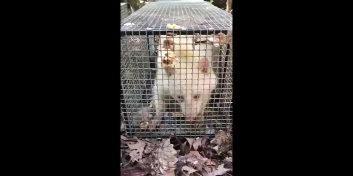 Watch: Alpha Wildlife releases albino raccoon into the wild