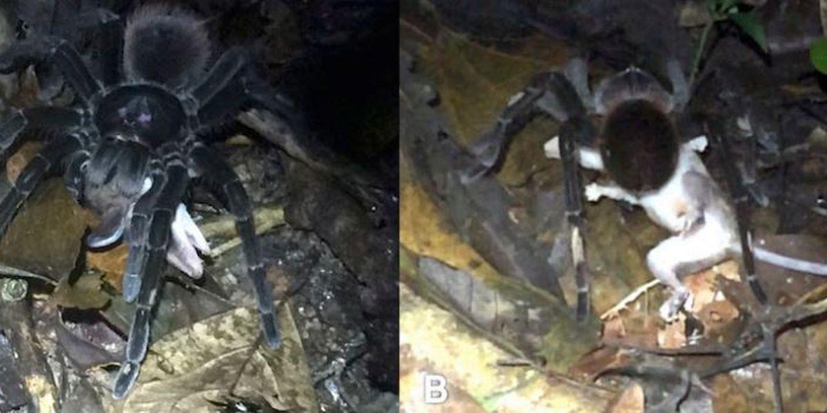 Ugh! Video shows giant tarantula preying on opossum