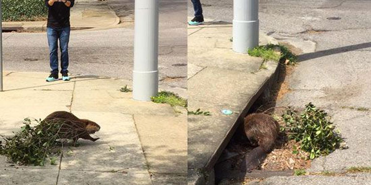 Beaver builds dam in Midtown sewer grate