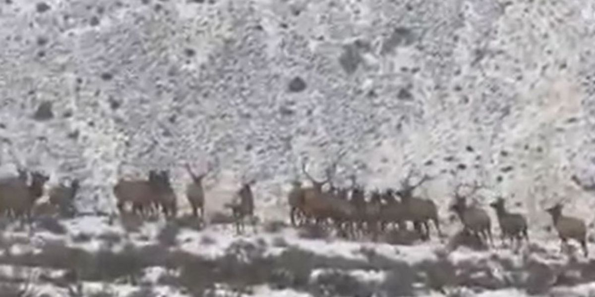 Hundreds of elk run across highway in Washington