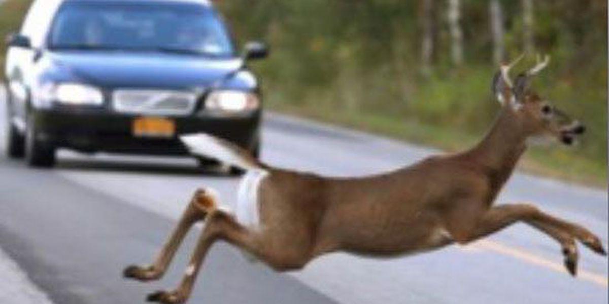 Deer mating season prompts warning from Highway Patrol