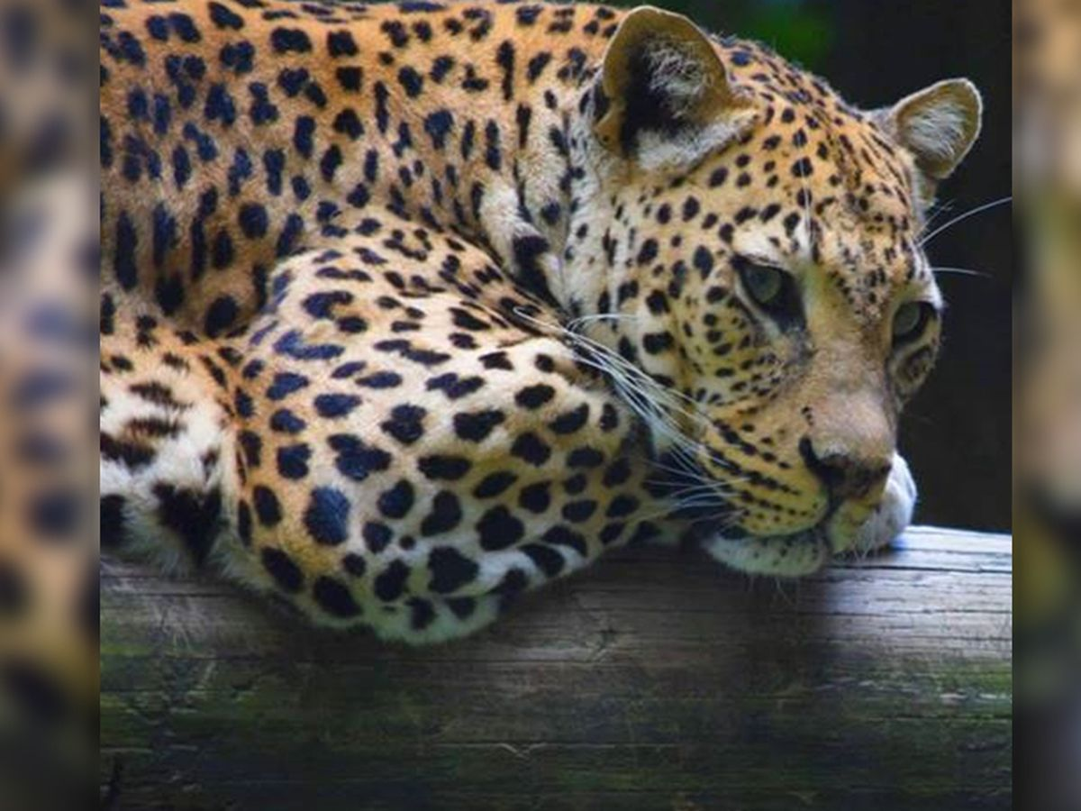One of the oldest leopards at the Memphis Zoo has died