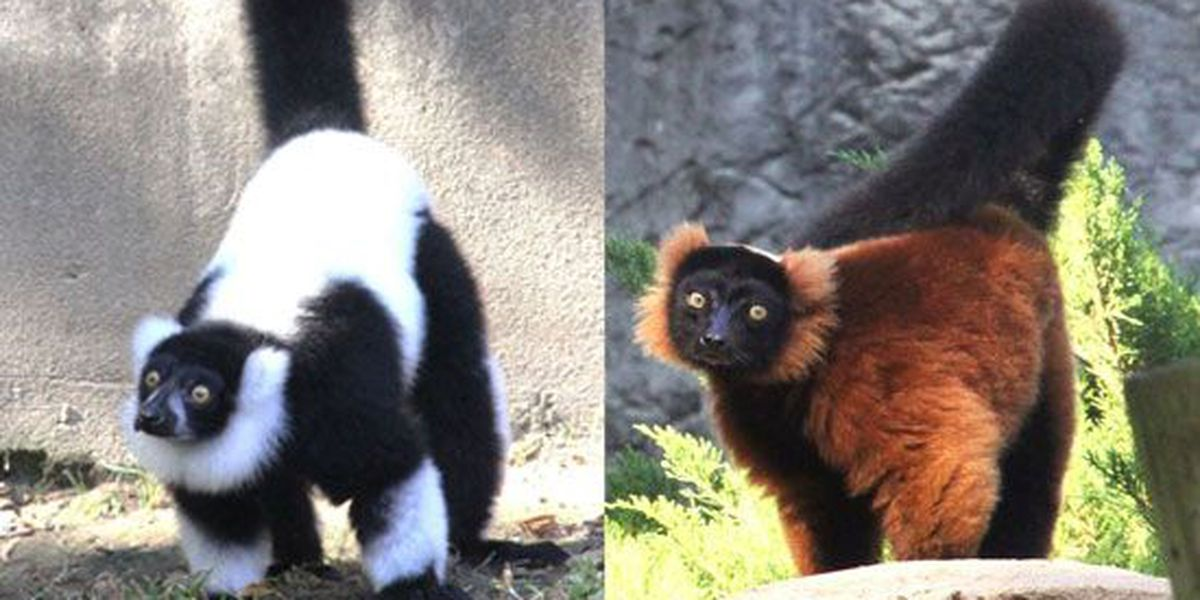 Endangered lemurs return to Memphis Zoo after 15 years