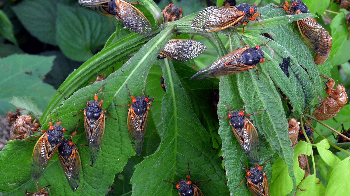 Breakdown: Why this year's cicadas will be more numerous & loud
