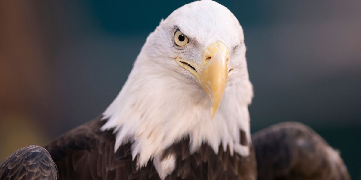 Wildlife officials accuse North Louisiana man of killing bald eagle