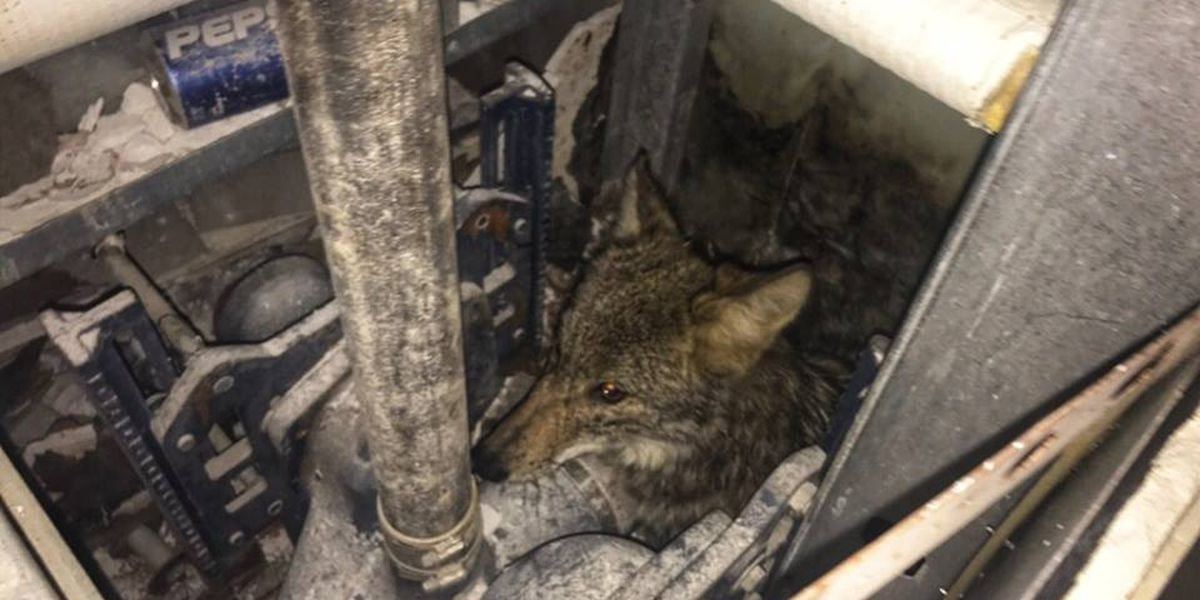 Coyote gets stuck inside wall at Memphis Convention Center