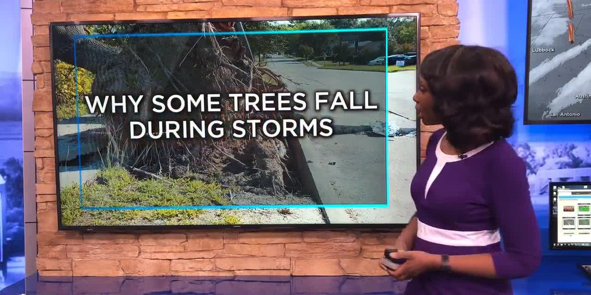 Why some trees fall during storms and others don't
