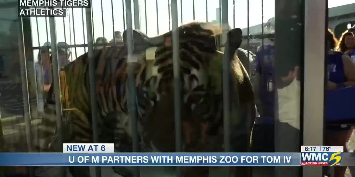 UofM and the Memphis Zoo partner for Tom IV