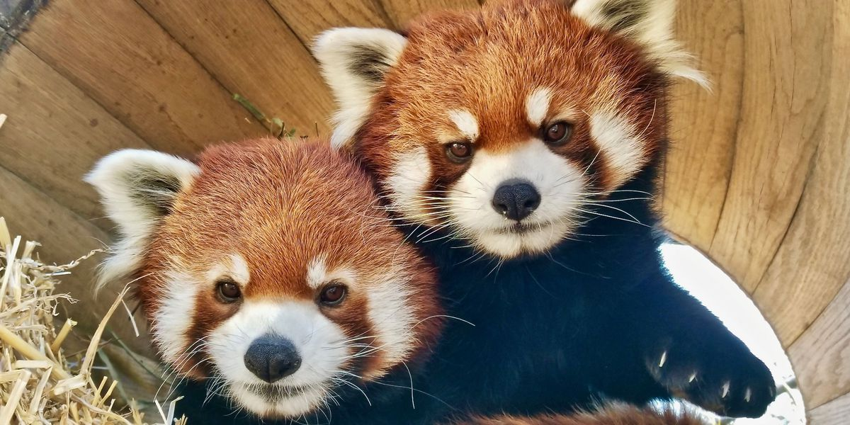 Red panda brothers join Memphis Zoo's CHINA exhibit