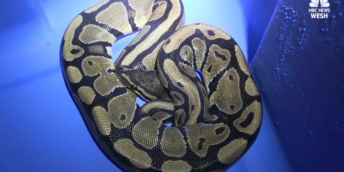 FL woman finds python in laundry