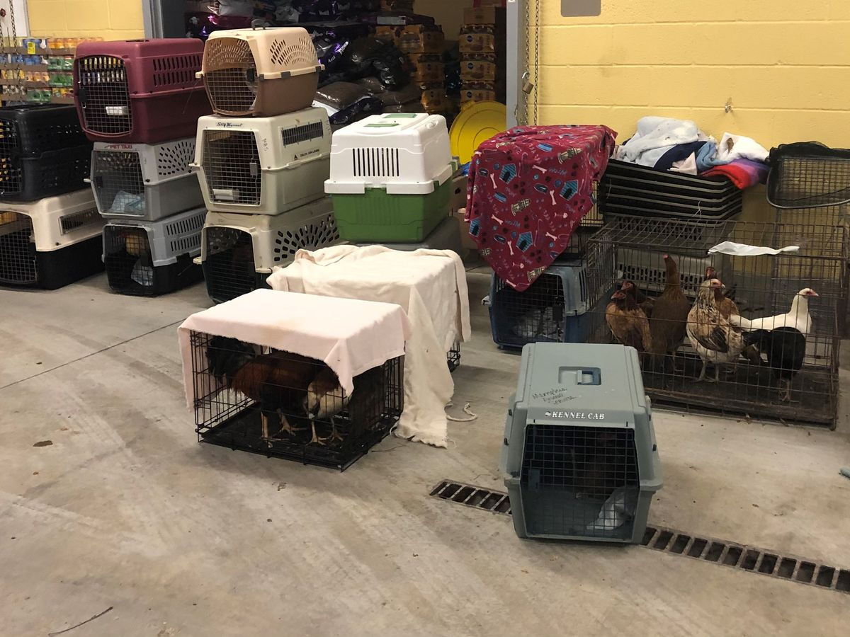 Memphis man arrested for cockfighting, 185 animals taken by MAS