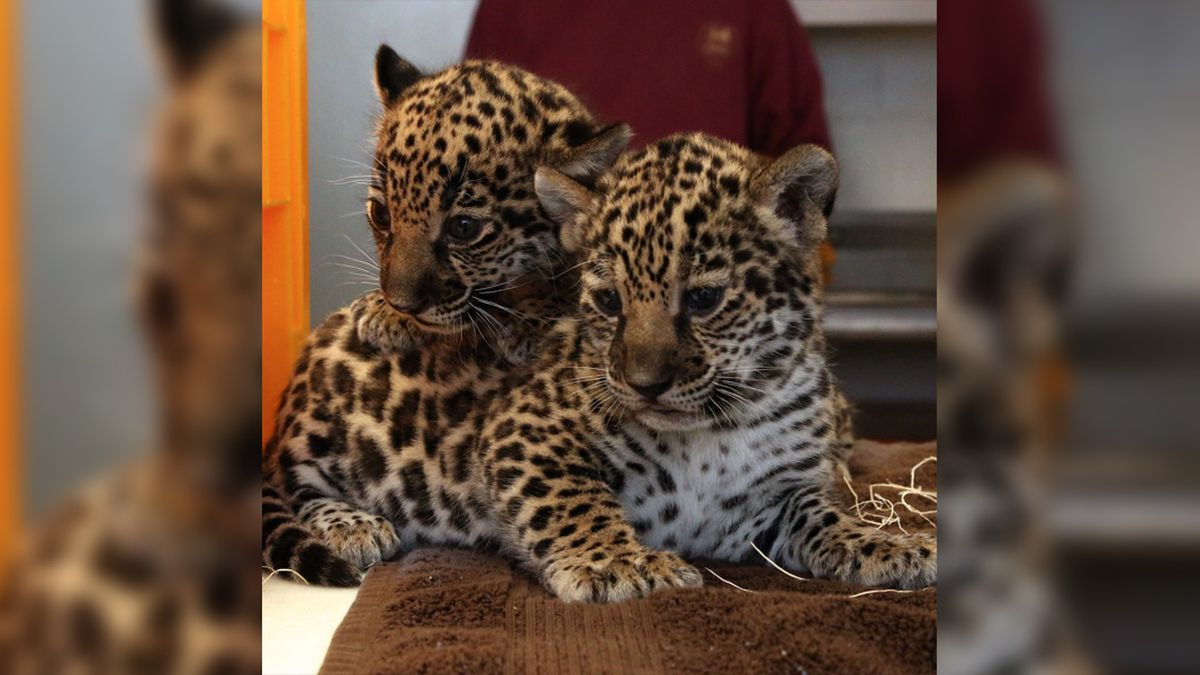 Jaguar cubs' names revealed ahead of their public debut at Memphis Zoo