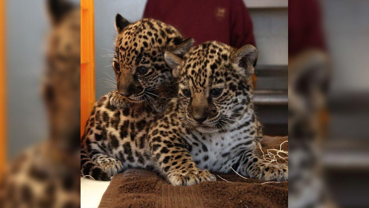 Jaguar cubs' names revealed ahead of their public debut at Memphis Zoo