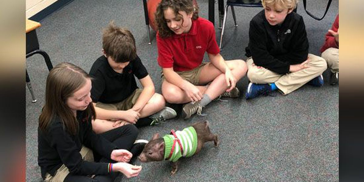 Pig helps teach lessons to 3rd graders at Memphis school