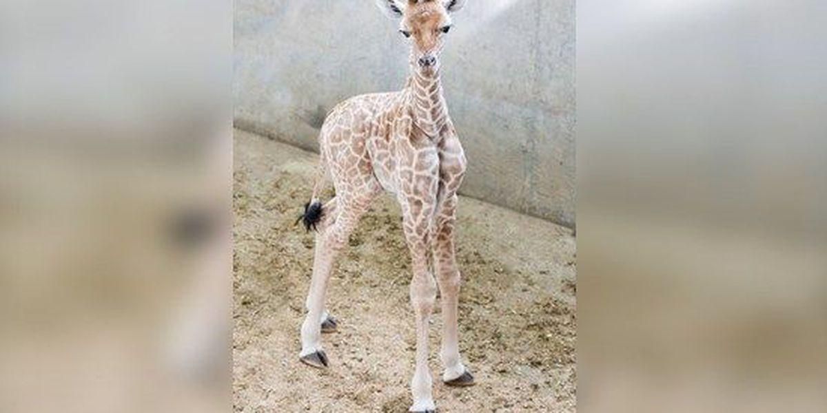 Fourth baby giraffe born at Memphis Zoo