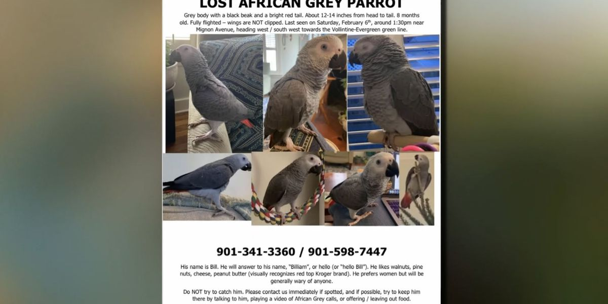 Owner searching for missing African grey parrot in Midtown