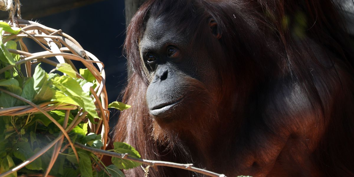 Orangutan named Sandra, who was given legal personhood, settles into new Florida home