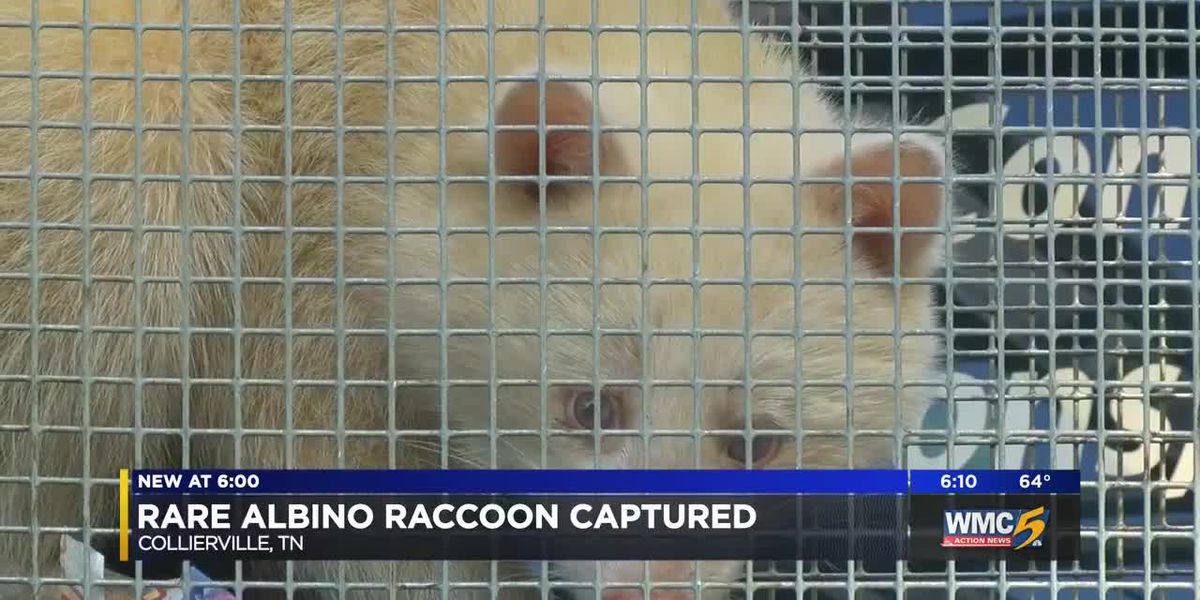 Rare albino raccoon captured, relocated in Mid-South
