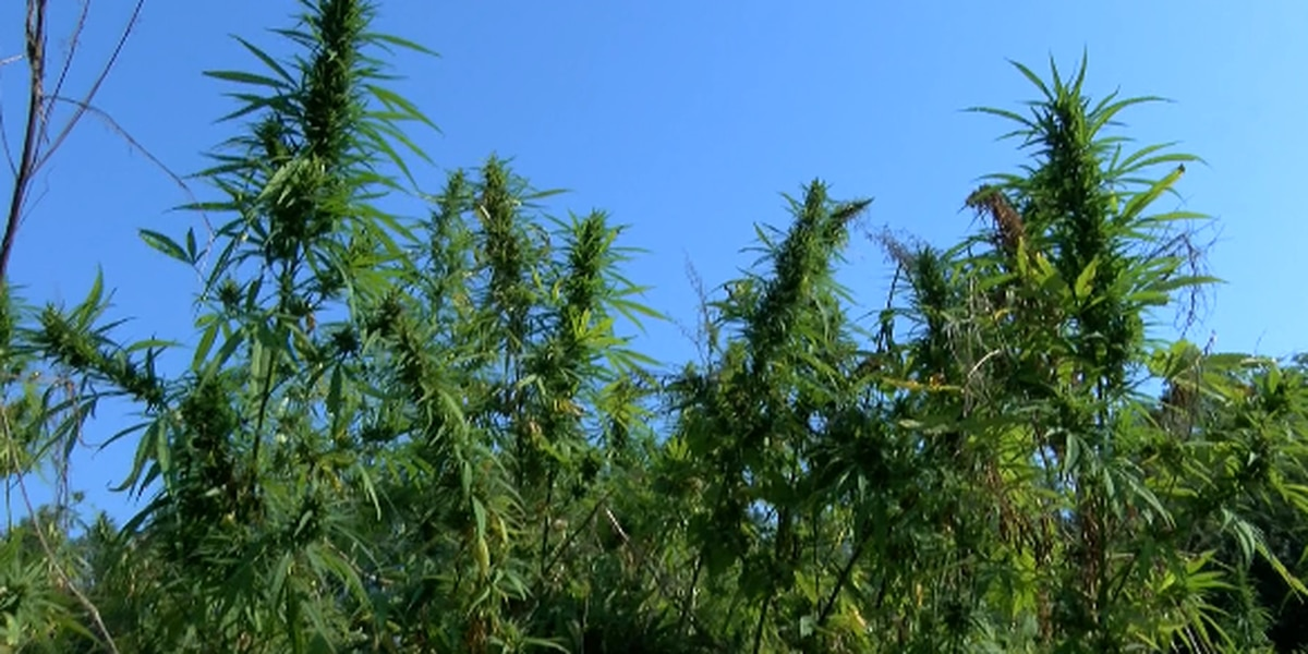 Mississippi legislature creates task force to explore hemp cultivation
