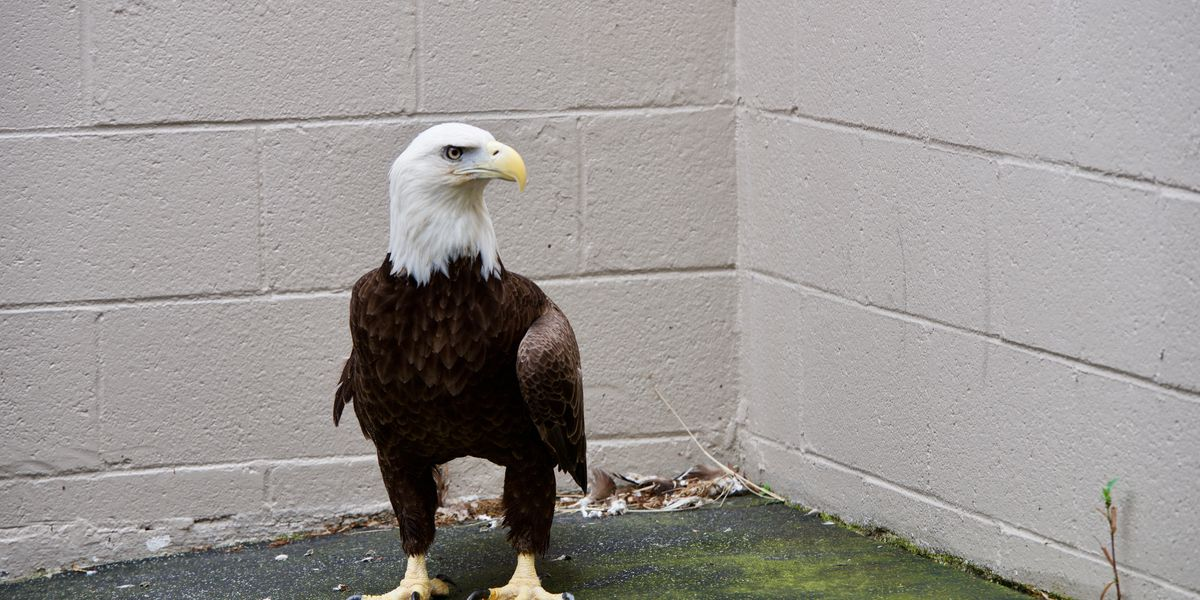 Injured bald eagle saved by Memphis Zoo veterinarian