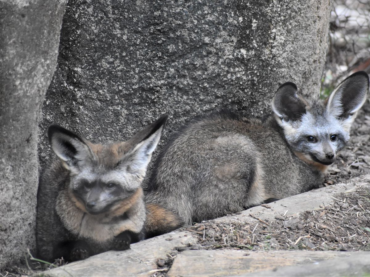 Memphis Zoo welcomes bat-eared foxes to Cat Country exhibit